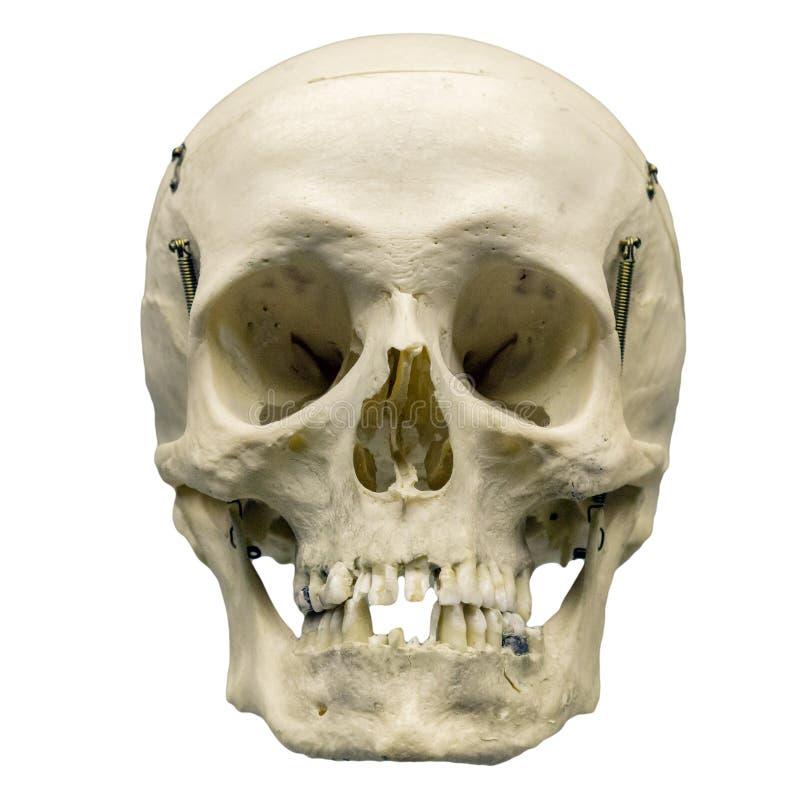 Cranio umano su fondo bianco isolato immagini stock