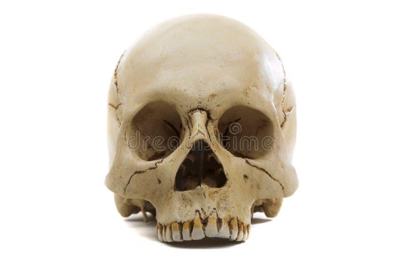 Cranium stock photos