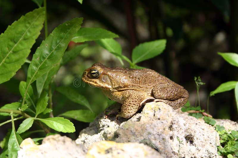 Crapaud de canne images stock