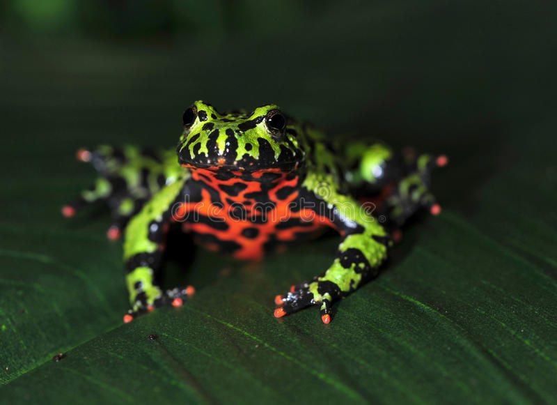 Crapaud firebellied oriental, grenouille verte de porcelaine photo libre de droits