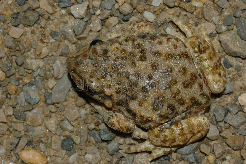 Crapaud (obstetricans d'alytes) image stock