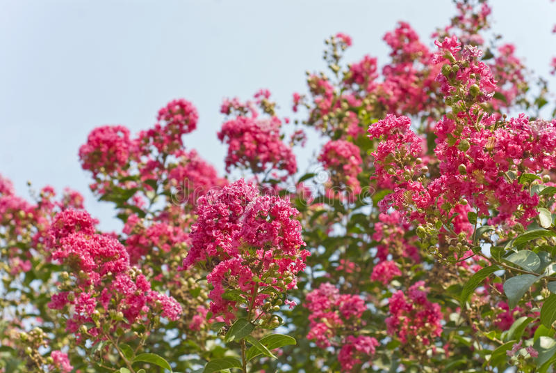 Crape mirtu Drzewni kwiaty Zgłębiają - menchie (Lagerstroemia) obrazy stock
