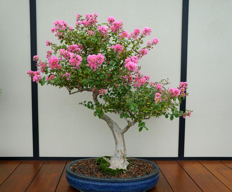 Bonsai Myrtle Tree Photos Free Royalty Free Stock Photos From Dreamstime