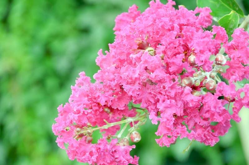 Download Crape myrtle flowers stock photo. Image of bloom, season - 28445038