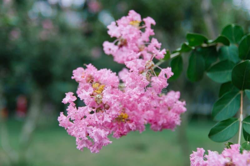 Crape myrtle flowers blooming in summer stock photo