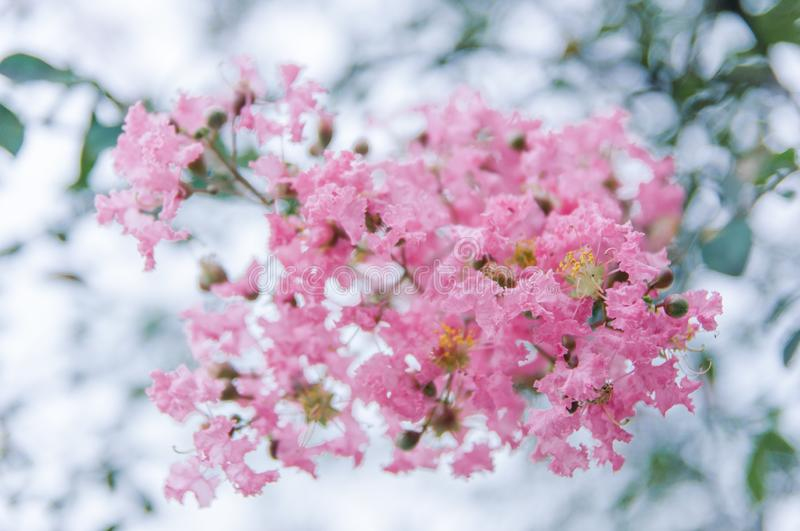 Crape myrtle flowers blooming in summer stock images