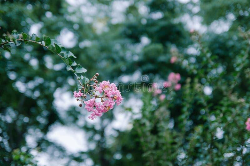Crape myrtle flowers blooming in summer stock photos