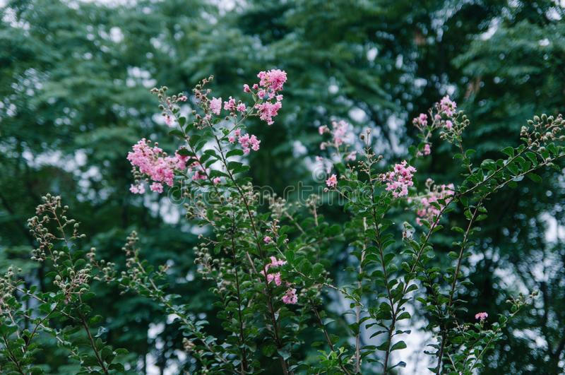 Crape myrtle flowers blooming in summer royalty free stock images