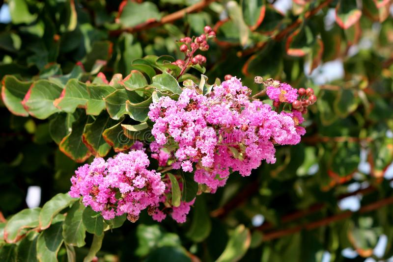 Crape Myrtle or Lagerstroemia indica deciduous tree plant with freshly open blooming pink flowers and closed flower buds on single royalty free stock photos