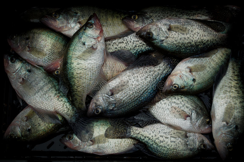Crappie. Several white crappie (P. annularis) in a bin royalty free stock photos