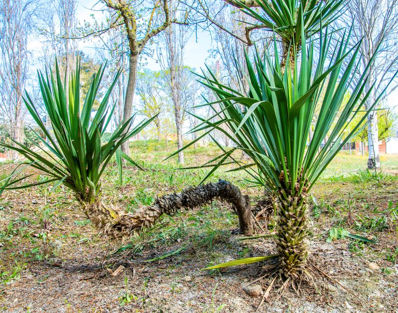Trunk has been tilted. Crasa plant whose trunk has been tilted horizontally royalty free stock photos