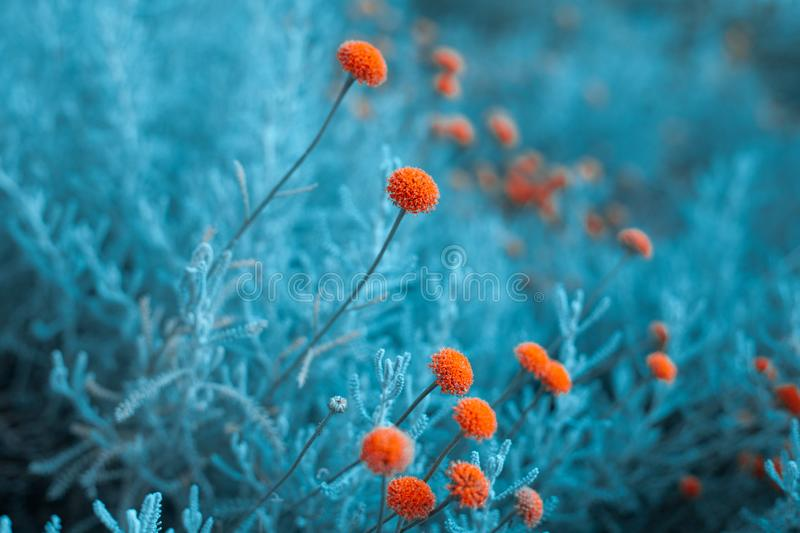 Craspedia  billy buttons flowers in garden infrared colors  closeup selective focus background stock photos