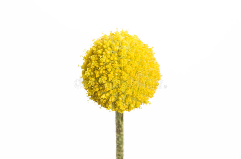 Craspedia. A single yellow craspedia flower isolated on white background. The craspedia is in the daisy family commonly known as billy buttons, woollyheads, and stock images