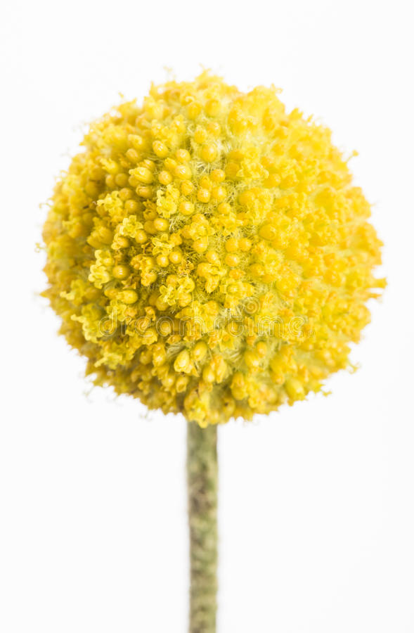 Craspedia. A single yellow craspedia flower isolated on white background. The craspedia is in the daisy family commonly known as billy buttons, woollyheads, and stock image