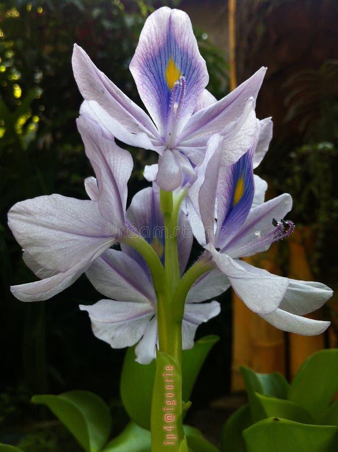 Crassipes Eichhornia стоковое фото rf