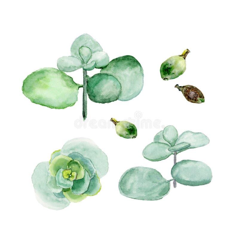 Crassula, дерево денег Succulents изолированные на белой предпосылке Иллюстрация акварели нарисованная рукой бесплатная иллюстрация
