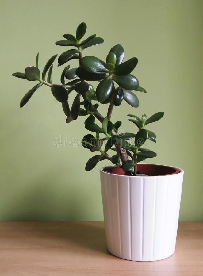 Crassula argentea royalty free stock photography