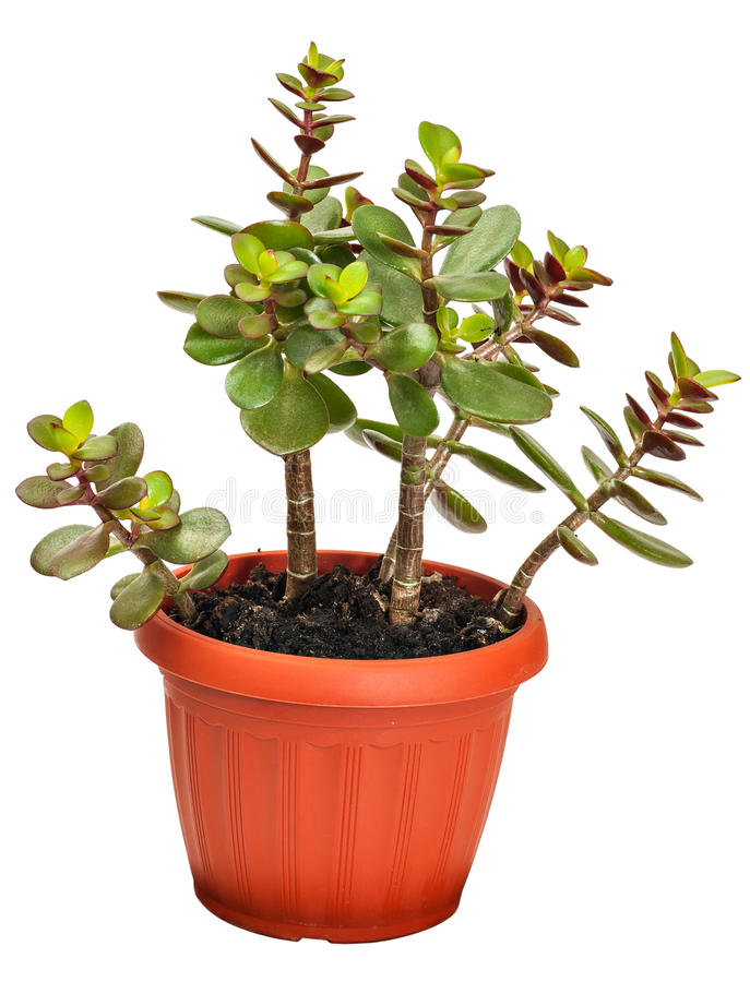 Crassula de plante d 39 int rieur ou arbre mon taire photo for Ou acheter plante interieur