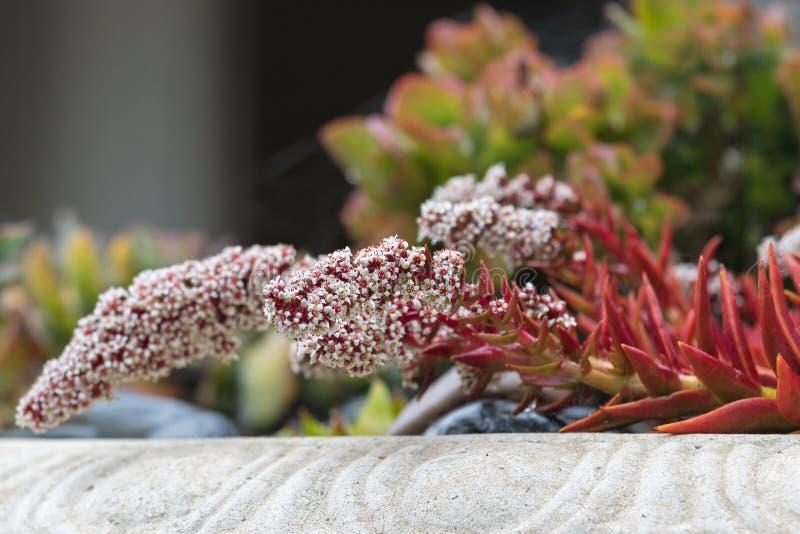 Crassula Erosula Lagerfeuer Mit Weißer Blume, Saftige Anlage Herein ...