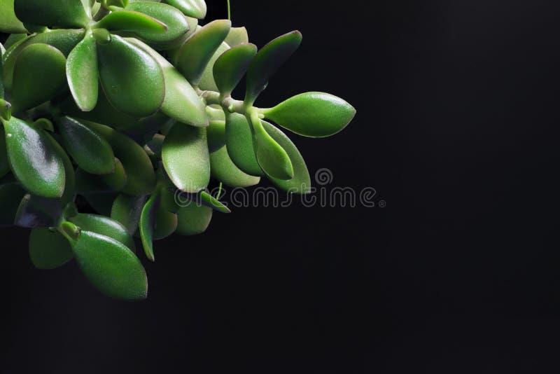 Crassula, foglie verdi del primo piano dell'albero dei soldi su un fondo nero, un posto per testo immagine stock libera da diritti