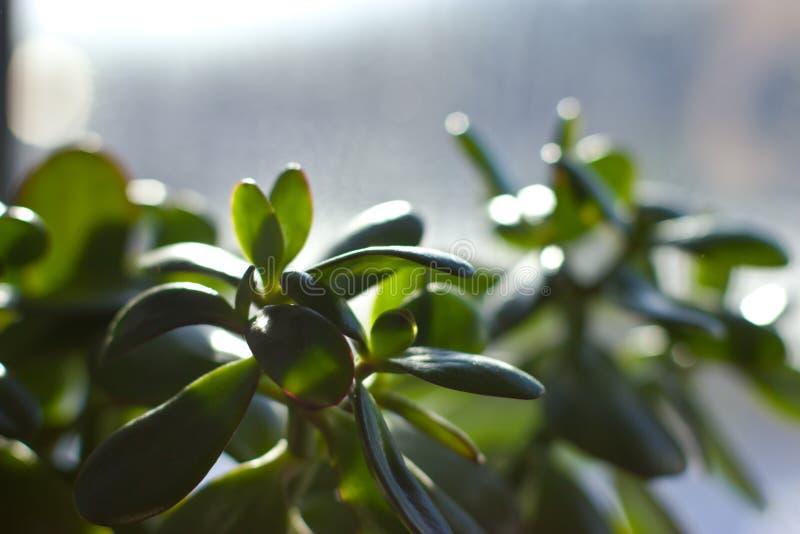 Crassula & x28; Geld tree& x29; op het venster royalty-vrije stock foto