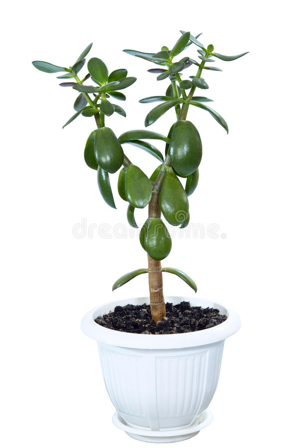 Crassula the house plant in a flowerpot (Monetary tree), is isolated on a white background royalty free stock photography
