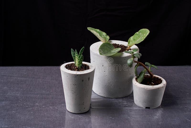 Crassula im diy konkreten Topf saftig und in der Viola Nur gepflanzt in den Töpfen Auf schwarzem Hintergrund Das Konzept des häus lizenzfreies stockbild