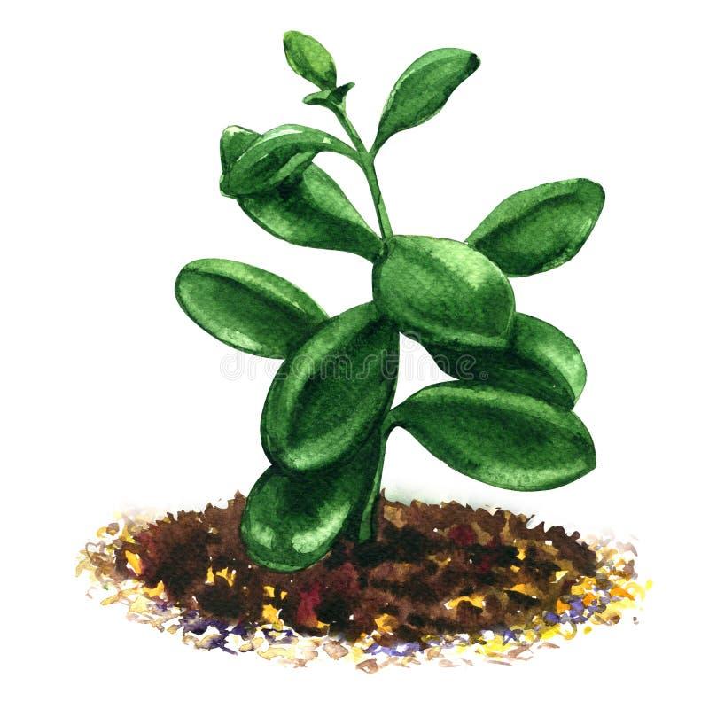 Crassula, money tree, flower succulent plant isolated, watercolor illustration. On white background royalty free illustration