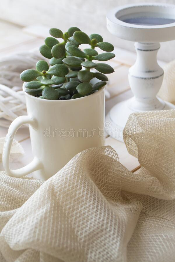 Crassula ovata in a clay white cup on a white shabby background stock images