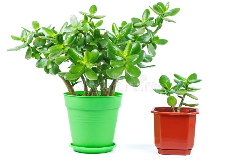Crassula ovata jade plant isolated on white background. Big and small plant royalty free stock image
