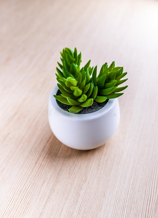 Crassula ovata royalty free stock images