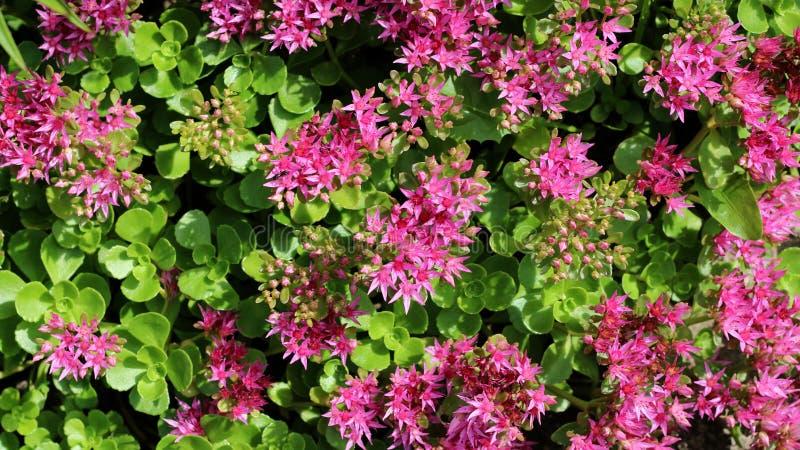 Crassula or stonecrop flower close –up view. Crassula or stonecrop flower in bloom close –up view stock photos