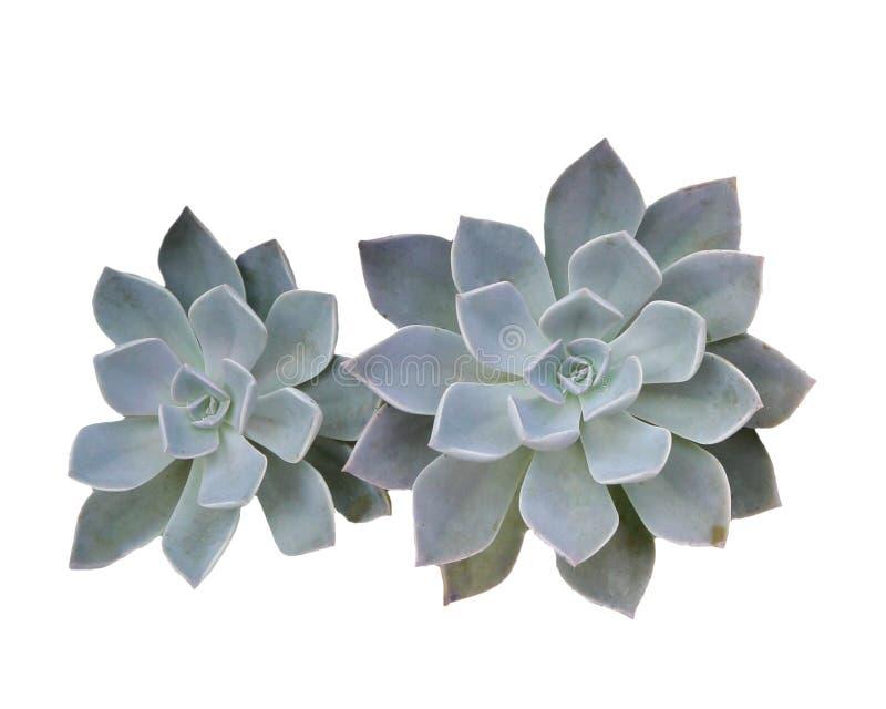 Crassulaceae fotos de archivo