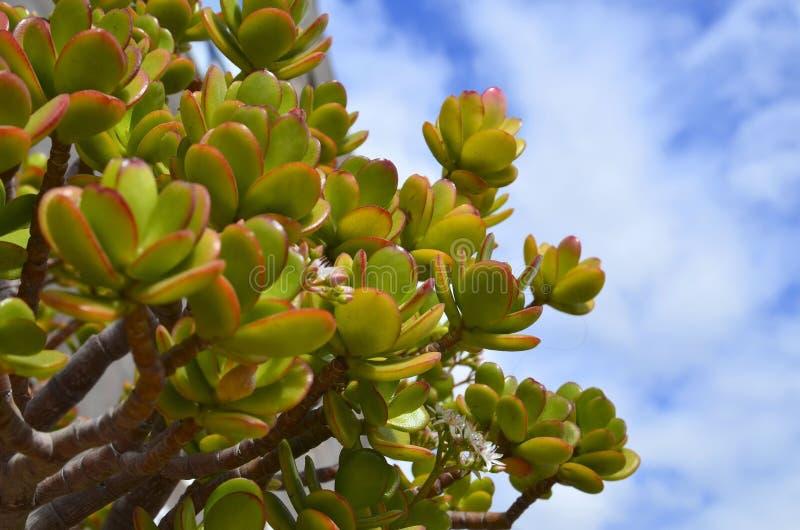 Crassulaovata som gemensamt är bekant som jadeväxt- eller pengarträdsuckulent på en bakgrund för blå himmel arkivbild