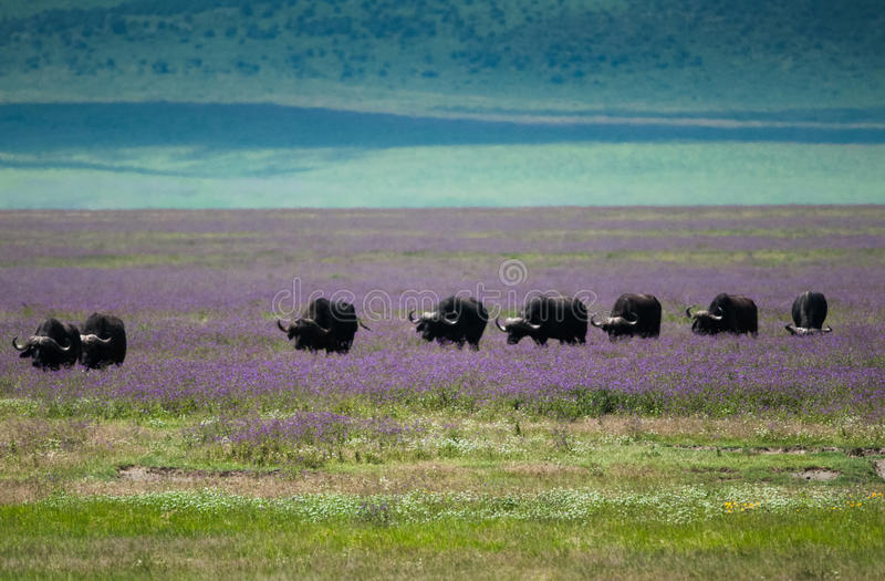 Cratère de Ngorongoro de migration de Buffalo, Tanzanie images stock