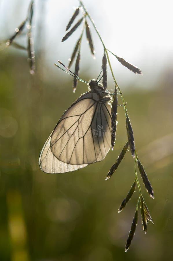 Crataegi blanc d'Aporia de papillon photo stock