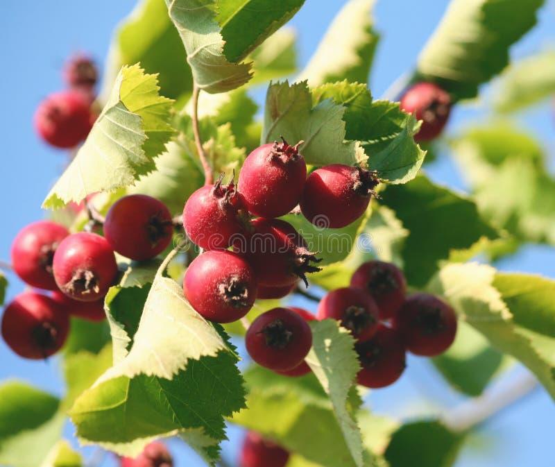 Crataegus, κράταιγος, haw, κλάδος με τα πράσινα φύλλα και τα φωτεινά κόκκινα μούρα στοκ εικόνα με δικαίωμα ελεύθερης χρήσης