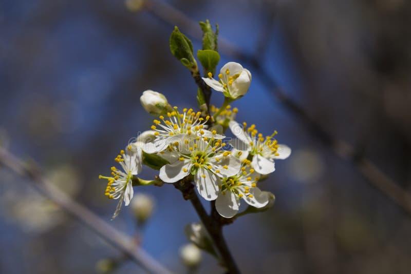 Crataegus Flores del espino en primer de la primavera imágenes de archivo libres de regalías