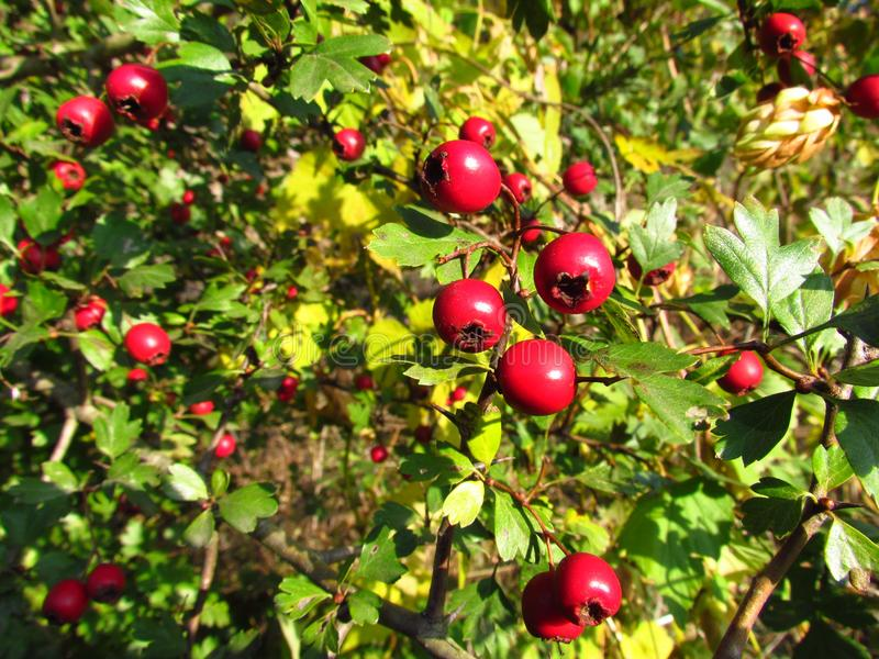 Crataegus, Hawthorn, red autumn fruits. Medicinal plant royalty free stock image