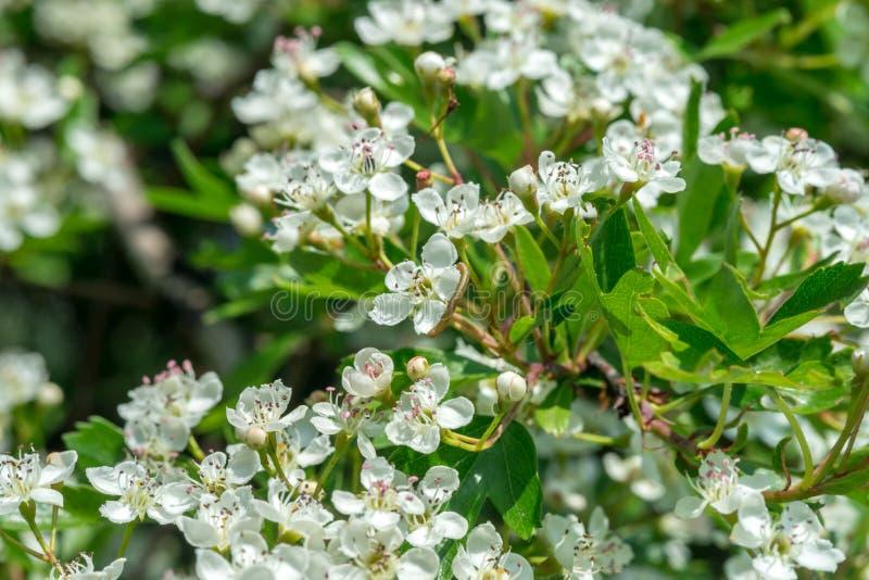 Crataegus kwitnie w Maju fotografia stock