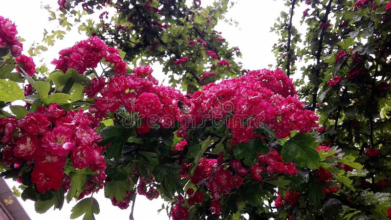 Close up of branches with beautiful blooming red flowers of Paul`s Scarlet Hawthorn, Crataegus Laevigata tree royalty free stock photos