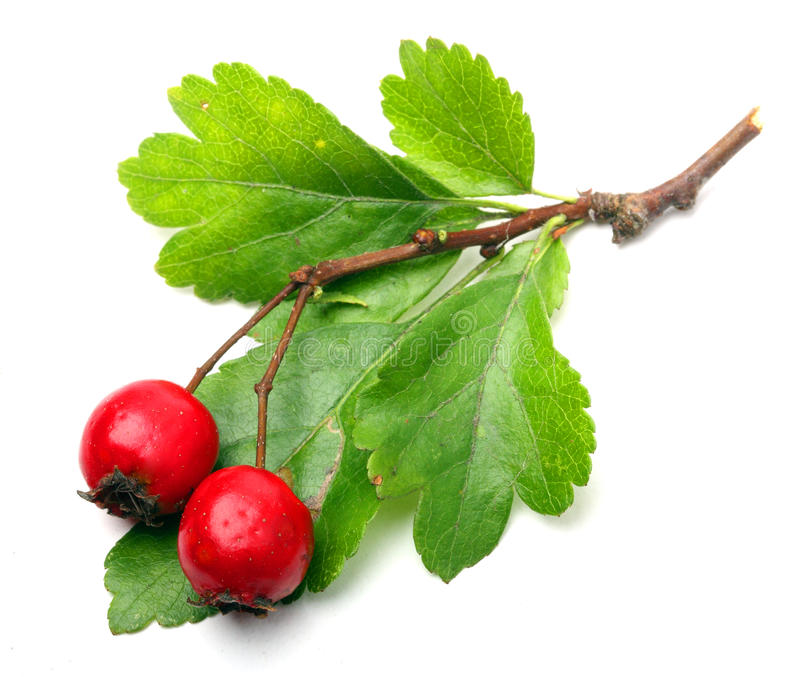 Crataegus oxyacantha - Hawthorn stock photo