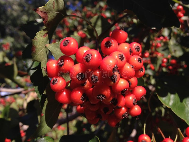 Crataegus Tree Berries in the Fall in Central Park, Manhattan. royalty free stock images