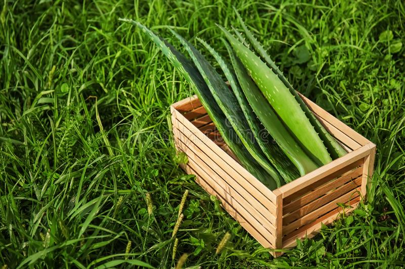 Crate with aloe vera leaves on green grass stock photo