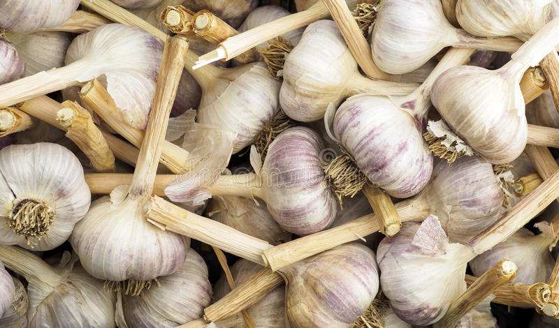 A crate with lots of Fresh Garlic Bulbs royalty free stock photography