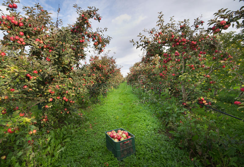 Crate in orchard. Ripe apples on trees and in crate in orchard royalty free stock photos