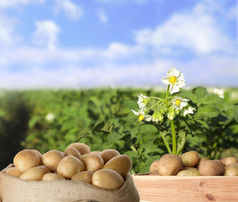 Crate and sack of raw potatoes in field. Crate and sack of fresh raw potatoes in field stock photo
