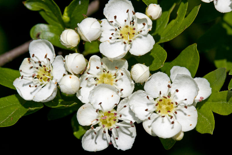 Cratego in fiore fotografie stock libere da diritti