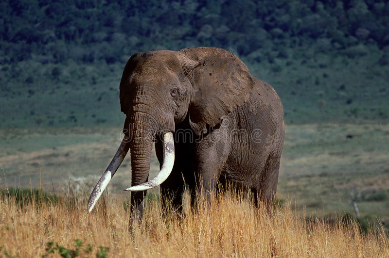 Download Crater elephant stock image. Image of mamal, brown, wild - 102629
