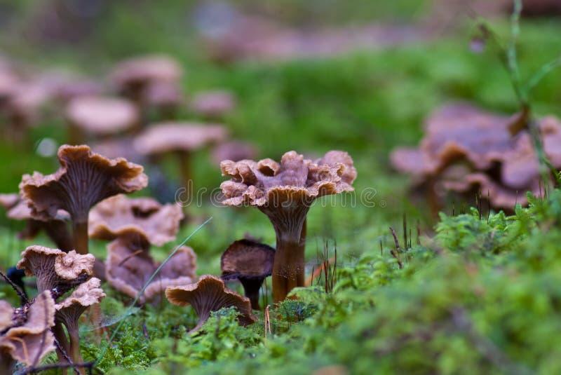 Craterellus tubaeformis stock foto